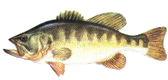 Black Bass