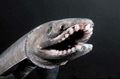frilled shark 2 FRILLED SHARK